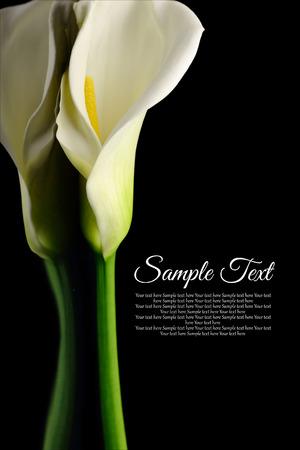 Mooie witte Calla lelie met reflectie op zwarte achtergrond