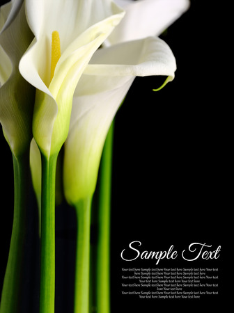 Beautiful white Calla lilies with reflection on black background Stock Photo