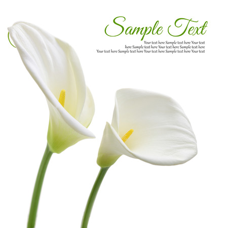 Beautiful white Calla lilies isolated on white background photo