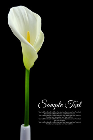 Beautiful white Calla lily on black background photo