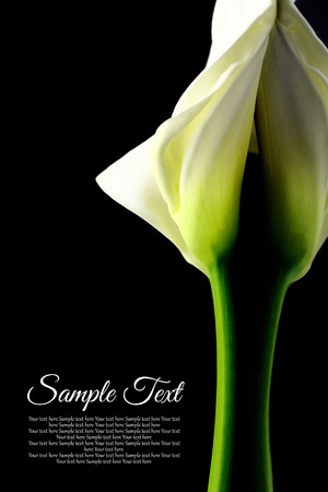 Beautiful white Calla lily with reflection on black background photo