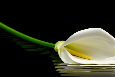 Beautiful white Calla lily reflected in water photo