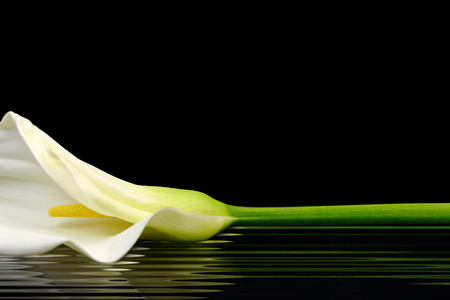 calla lily: Beautiful white Calla lily reflected in water
