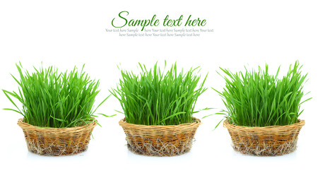 Grass in three wicker baskets with roots isolated Stock Photo