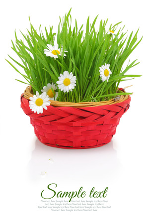 White daisies and grass in red wicker basket isolated photo