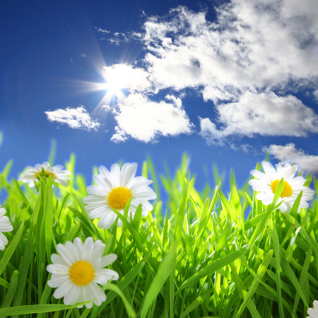 grassy field: Flowers with grassy field on blue sky and sunshine