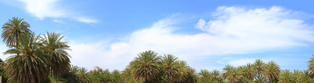 mediterranean forest: Blue sky, soft clouds and palm trees tops    Stock Photo