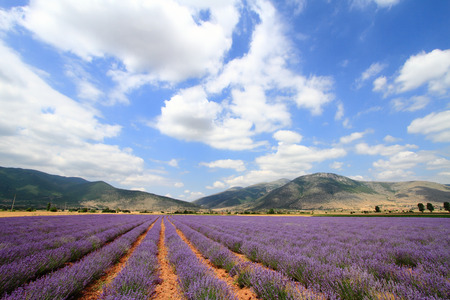 lavandula angustifolia: Lavender fields with distant mountains and blue sky