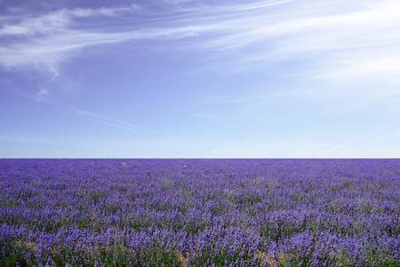 Lavender fields against blue sky   photo