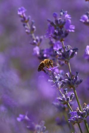 lavandula angustifolia: Honey bee on blooming lavender flowers closeup
