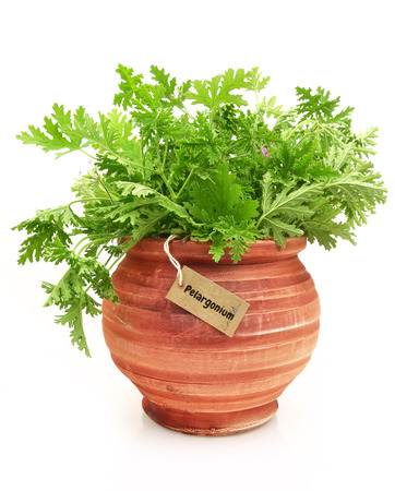 Fresh pelargonium plant in a clay pot photo