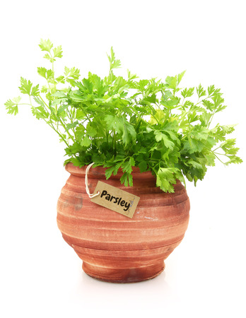 Fresh parsley plant in a clay pot photo