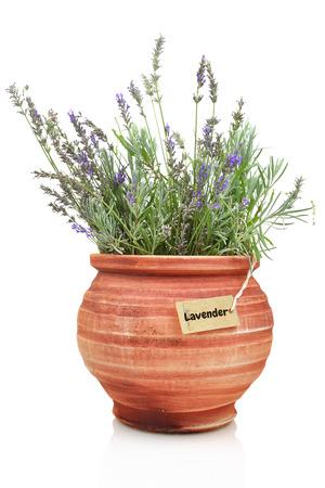 greek pot: Pianta di lavanda fresca in una pentola di terracotta