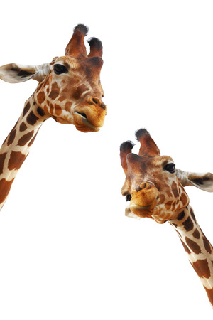 savannas: Couple of giraffes closeup portrait isolated on white background