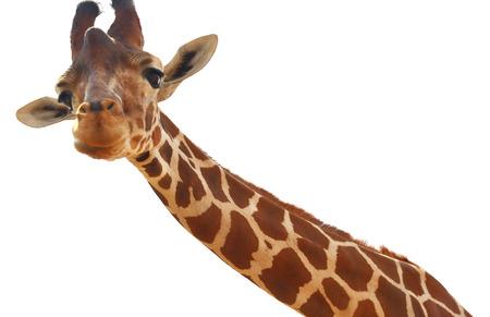 jirafa fondo blanco: Retrato de la jirafa de cerca aisladas sobre fondo blanco Foto de archivo