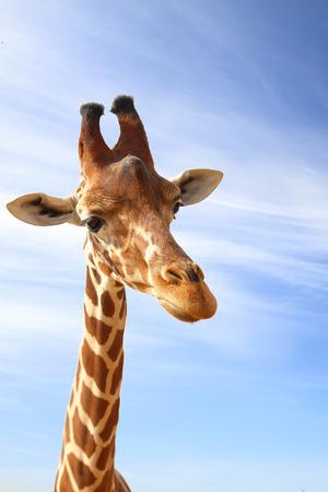 terrestrial: Giraffe closeup portrait with blue sky as background