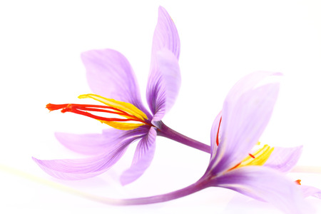lila: Close up of saffron flowers isolated on white background