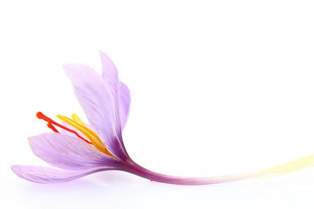 닫기 사프란 꽃의 흰색 배경에 고립