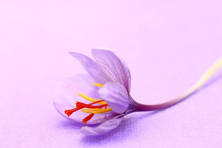 Close up von Safran Blumen auf lila Hintergrund Standard-Bild - 33504873