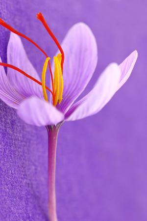 Close up von Safran Blumen auf lila Hintergrund Standard-Bild - 33504880