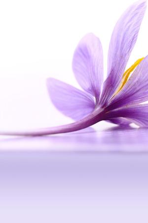 lila: Close up of saffron flower