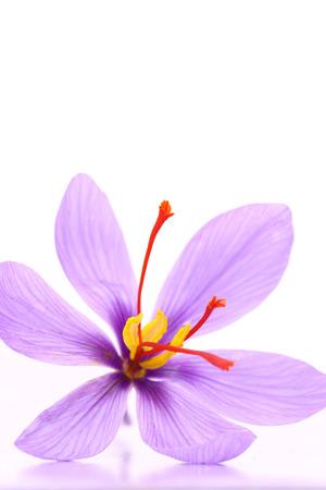 Nahaufnahme von Safran Blume auf weißem Hintergrund Standard-Bild - 33505093