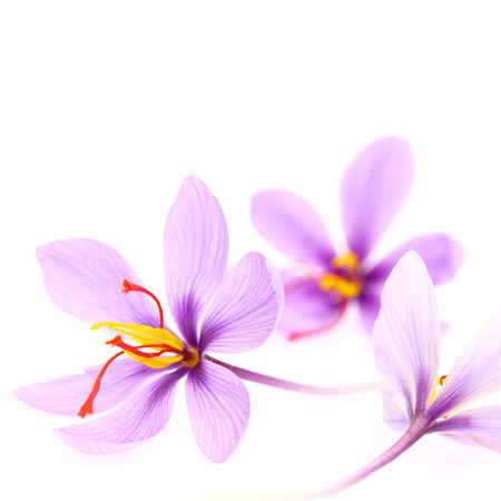 Close up of saffron flowers isolated on white background