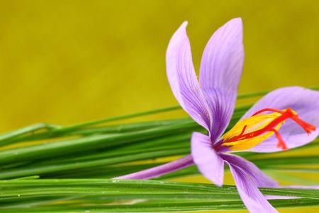 Close up of saffron flower