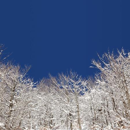seasonal: Winter seasonal snow covered trees
