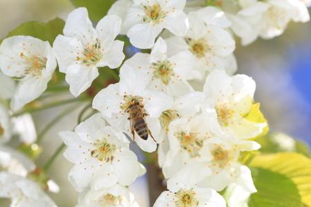 honeybee: Honeybee harvesting pollen from blooming flowers