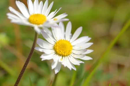argyranthemum: White daisy field closeup shot