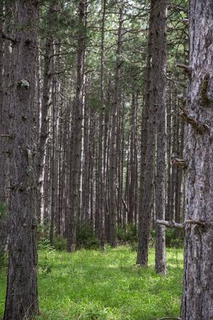 conifer: Conifer tree trunks natural background