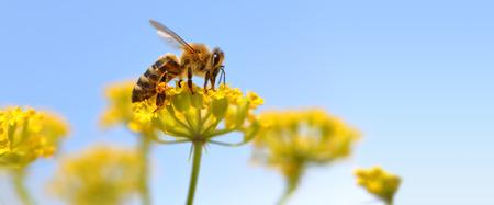 Honeybee harvesting pollen from blooming flowers