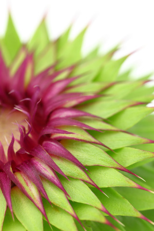 thistle: Milk thistle flower macro background
