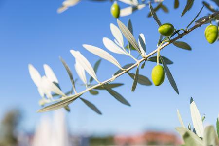 sky background: Olive branches on blue sky background
