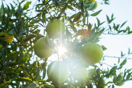 tangerine tree: Closeup of orange tree branch with sunlight shine through it.
