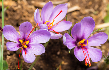Close up of Crocus sativus flower on field Stock Photo