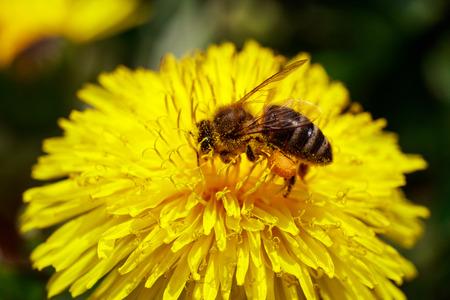 honeybee: Honeybee on wild yellow flower closeup