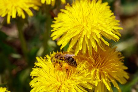 honeybee: Honeybee on wild yellow flowers closeup