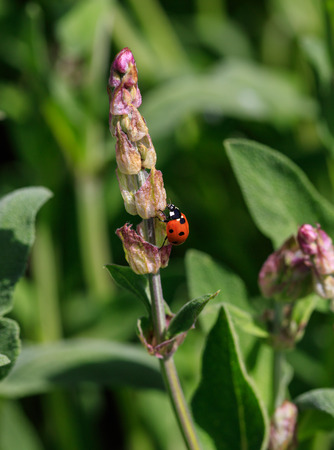 coccinellidae: Red ladybug on plant closeup in field Stock Photo