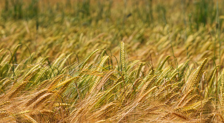 land plant: Wheat field closeup with depth of field