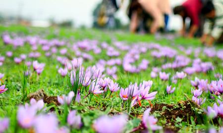 Violeta cosecha de flores de azafrán