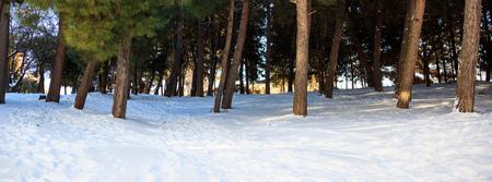 boles: Trees boles on a snowy background Stock Photo