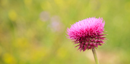 prick: Blooming thistle plant (Silybum marianum) - copy space