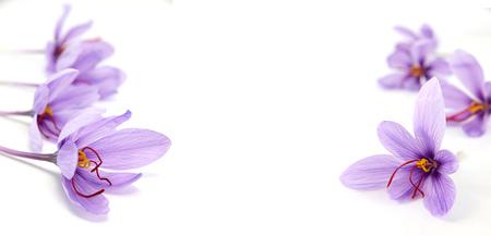 Krokusblumen auf weißem Hintergrund und Kopienraum Standard-Bild - 84931535