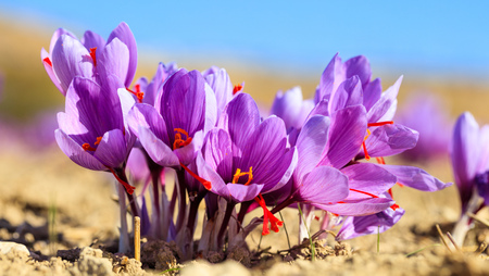 Close up of Crocus flowers in a field at harvest time