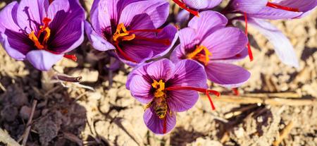 Schließen Sie oben von einer Biene auf einer Krokusblume, Draufsicht Standard-Bild - 89606661