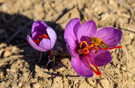 Close up of a bee on a crocus flower, top view Фото со стока - 89606664