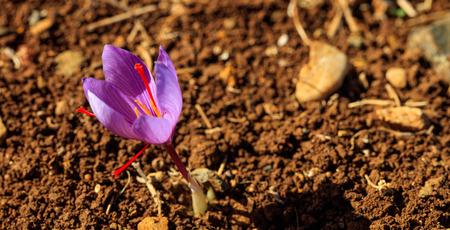 Schließen Sie oben von einer Krokusblume auf einem Gebiet zur Erntezeit, Kopienraum Standard-Bild - 89325610