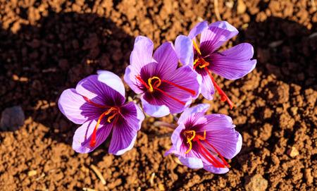 収穫時にフィールドのクロッカスの花のクローズ アップ